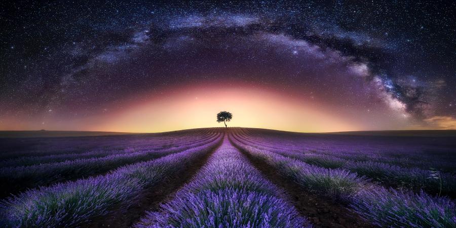 Одинокое дерево в лавандовом поле