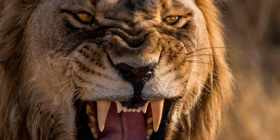 Разъярённый лев