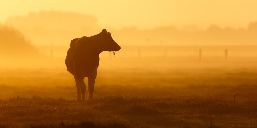Пасущаяся корова